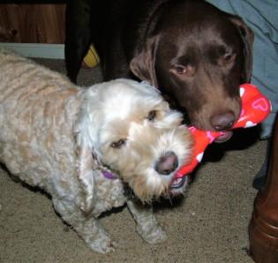 Lockie & Bonnie with bone No three July 2010